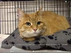 "Adult Male Cat - Domestic Medium Hair-orange: ""Garfield"" London Ontario image 1"