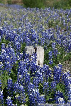 Texas Bluebonnets - Hill Country | Book, Cupcakes, and Cats Chasing Chipmunks**