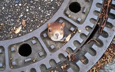 A squirrel trapped in a manhole cover is seen in Isenhagen, northern Germany. Police managed to free the animal by using olive oil.Picture: Police Hanover/AP