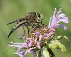 Robber Fly by Mark Andersen. Great story behind this little guy, click on him to read more.