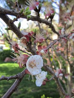 Blossoms from my apricot tree make me smile!