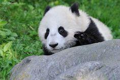 Big Panda Eyes by Josef Gelernter on 500px