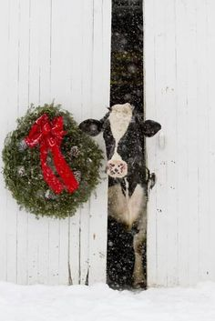 Holstein Cow in Snowstorm by Green Wreath and Red Ribbon, St. Christmas Scenes, Christmas Animals, Christmas Art, Winter Christmas, All Things Christmas, Vintage Christmas, Christmas Decorations, Xmas, Cow Photos