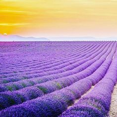 Lavender Field, Provence 🗺️️  ----------------------------------------------------------------------  #lavender #provence #beautifuldestinations #naturephotography #nature #travel #travelgram #instapic #instadaily #instagood #beautiful #followus #france #worldisbeautiful #wanderlust    #Regram via @twmbeautiful