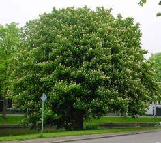 moore123.files.wordpress.com 2010 06 cam-elm-horse-chestnut-tree.jpg