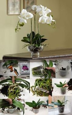 But before you panic, calm down and read this article about Phalaenopsis Orchid Care. I love love love orchids! I've always like orchids but Plants, Planting Flowers, Organic Gardening, Small Garden Uk, House Plants, Orchid Plant Care, Orchids, Garden, Orchid Arrangements