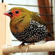 This is Probably the Most Dapper Bird on the Planet  ~  The Green-backed Twinspot (Mandingoa nitidula) of Sub-Saharan Africa