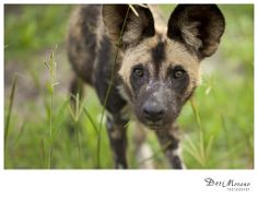 Close-up of the african wild dog (Lycaon pictus) African Hunting Dog, African Wild Dog, Hunting Dogs, Spotted Dog, Okavango Delta, Wild Dogs, Endangered Species, Dory, Cape