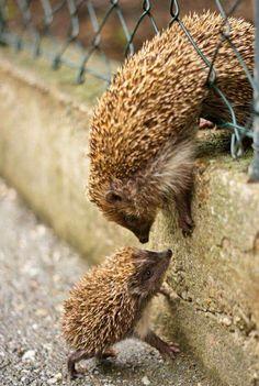 Hedgehog baby and mommy! Hedgehog baby and mommy! Hedgehog baby and mommy! Hedgehog baby and mommy! Cute Creatures, Beautiful Creatures, Animals Beautiful, Nature Animals, Animals And Pets, Animals Images, Wild Animals, Cute Baby Animals, Funny Animals