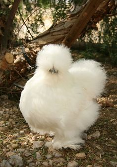 "WHITE SILKIE (bantam) These soft fluff-balls feature black skin, flesh, and bones, blue earlobes, and five toes on each foot, whereas most chickens only have four. Known for their calm, friendly temperament. Docile, broody and good mothers. About 3 eggs per week. These are ""true bantams""."