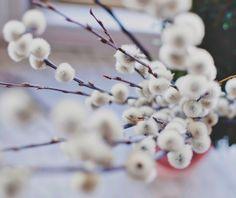 Riesen Weidenkätzchen - G-Artenreich Focus Photography, Flower Branch, Flower Lights, Free Stock Photos, Flowers, Plants, How To Make, Image, Branches