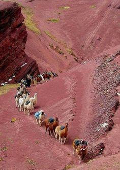 Llamas en Los Andes, Peru
