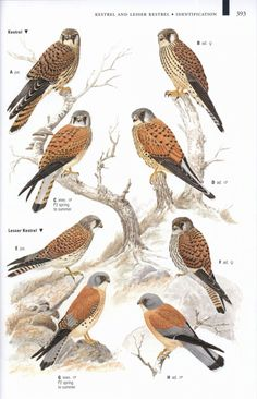 Louisiana Bird Identification Chart | 161721_5.jpg