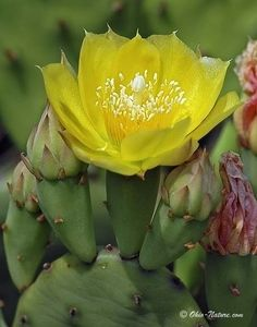 Northwest Ohio Rare Plants:  Prickly Pear Cactus can be found in Oak Openings