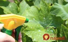 Uhorky sú jednou z najčastejšie pestovaných druhov zeleniny u nás. Často nám však radosť z bohatej úrady dokáže prekaziť pleseň, ktorá sa rýchlo rozširuje a dokáže zničiť celú úrodu uhoriek. Čo robiť, keď sa objaví a ako uhorky zachrániť?