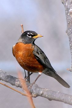 American Robin (Turdus migratorius), North America, commonly found in gardens, has reddish chest feathers, is about 10 inches long, and most fly south in the winter.