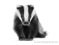 Welcome to the fine art gallery and online shop of Richard Symonds where you can buy limited edition prints of elephants, tigers, lions and other wildlife art. Pencil Drawings Of Animals, Cool Art Drawings, British Wildlife, Wildlife Art, Forest Animals, Woodland Animals, Badger Tattoo, Badger Illustration, Bull Elephant