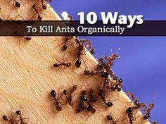 """10 Ways to Kill Ants Organically. Ants are not only a pest that can sting but very often where you find ants you find other pests in the garden. They love the """"sugars"""" that other pests secrete. However as much as we may not like ants, we should try as much as possible to stay away from using chemicals for their control. #gardening #pestcontrol"""