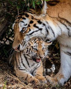 Funny Wild Animals, Mothers Love, Big Cats, Beast, Wildlife, Instagram, Amazing, Club, Caption