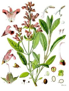 """Salvia officinalis: """"For why should a man need die, if he have sage in his garden?""""  Psychoactive AND antibacterial in one package!"""