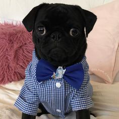 When your the boss you gotta suit up! Photo by @da_frank_n_beans  Want to be featured on our Instagram? Tag your photos with #thepugdiary for your chance to be featured.