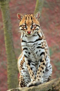 Beautifully striped and spotted ocelot.