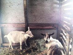 """Can I help you? Eatin dinner here if ya don't mind."" # #therestoringsimplehomestead #goatsofinstagram #milkinggoats #alpinegoat #nubiangoats #dinnertime #farmher #barn #smallfarm #homesteading http://ift.tt/1NSo95j"
