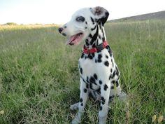Community Post: 10 Cute Dalmatian Pics That Will Make You Smile