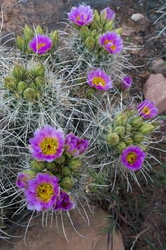 Utah, Arches National Park. Whipple's Fishhook Cactus Blooming and with Buds Photographic Print by Judith Zimmerman at Art.com