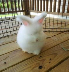 English Angora bunny