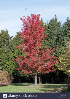 Stock Photo - A callery pear tree pyrus calleryana aristocrat rosaceae with leaves changed to a bright autumn red. Shot with evergreens Autumn Blaze Maple, Pyrus, Pear Trees, Small Trees, Evergreen, Yard, Leaves, Stock Photos, Flowers