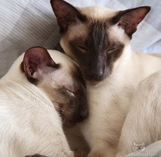 Snuggle time for Leroy & Benny. I Love Cats, Crazy Cats, Cute Cats, Siamese Kittens, Cats And Kittens, Bengal Kitten, Cats Bus, Bengal Tiger, Pretty Cats