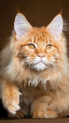 Fun Facts About Maine Coon Cats. Ginger Maine Coon Cat with beautiful eyesGinger Maine Coon Cat with beautiful eyes Pretty Cats, Beautiful Cats, Animals Beautiful, Cute Animals, Animals Images, Kittens Cutest, Cats And Kittens, Cute Cats, Cats Meowing