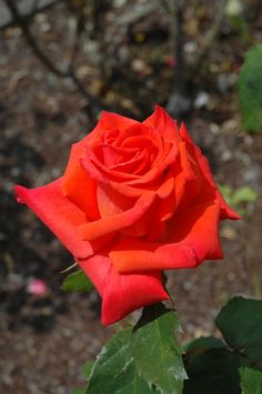 'Rosa 'Prominent'  Hybrid Tea Rose