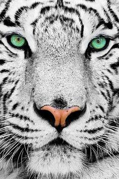 #whitetiger
