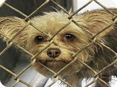 Scottsdale, AZ - Yorkie, Yorkshire Terrier Mix. Meet SASSY a Dog for Adoption.