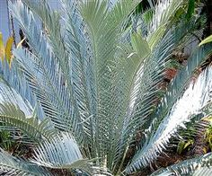 Encephalartos lehmannii Encephalartos Species Encephalartos lehmannii is also known as the Karoo cycad. It is among the hardiest and most Drought Resistant Landscaping, Hardy Plants, Growing Plants, Planting Succulents, Trees To Plant, Palm Trees, Shrubs, Wild Flowers, Home And Garden