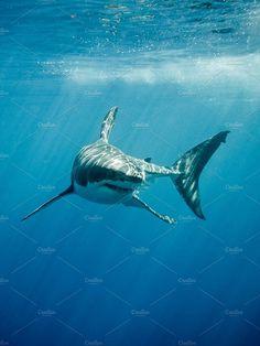 Great White Shark four fins by ramoncarretero on Creative Market Gaelle genet Cool Sharks, Whale Sharks, Photos Sous-marines, Shark Photos, Pictures Of Sharks, Great White Shark Pictures, Underwater Animals, Shark Art, Shark Tattoos