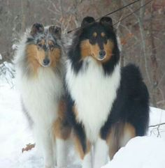Gorgeous Collies - One on the right reminds me of my precious Maddie.  She was a wonderful dog!