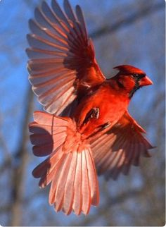 Cardinal position for my future tattoo --- Visit our shop here --- All Birds, Little Birds, Love Birds, Pretty Birds, Beautiful Birds, Red Bird Tattoos, Tattoo Bird, Cardinal Tattoos, State Birds