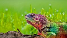 Iguana in false color image Colorful Lizards, Colorful Animals, Cute Animals, Exotic Animals, Wild Animals, Baby Animals, Tier Wallpaper, Animal Wallpaper, Photo Wallpaper