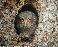 What a hoot! There's a photographer outside! Mr McGeorge's patience was rewarded after National Geographic featured the incredibly rare mome...