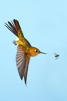 -A Tyrian Metal-tail chases a gnat - Top Flight Nature Photography: Hummingbirds of Ecuador-