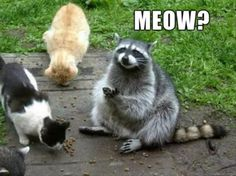 Raccoon and its cat friends eating fodder. In this image we can watch a raccoon along with two cats. They are eating fodder. I suppose that they are close to a house and the owner fed them with fodder. Funny Animal Memes, Funny Animal Pictures, Cute Funny Animals, Cat Memes, Funny Cute, Cute Cats, Funny Memes, Animal Pics, Hilarious