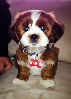 I have never wanted a zuchon/shichon more than I do right now.  OMG so cute.