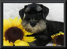 MySchnauzerBabies Miniature Schnauzers is not a commercial Miniature Schnauzer breeder. We breed to ensure the best possible Health, Temperament, Conformation, according to the AKC standards description. We want our Miniature Schnauzer puppies to be robust and sturdy, spirited, affectionate, confident, devoted and beautiful.