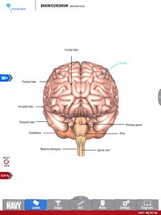 Diagram of the Brain/Cerebrum from the free Anatomy Study Guide app by America's Navy. Includes high-res 3-D diagrams! | #navy #usnavy #americasnavy navy.com