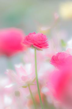 ~~tenderness | pink spring blossom | by Hiro S~~