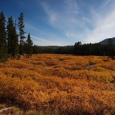 Catch autumn gold.  Spectacular colors blazing on beautiful mountains, fiery orange trees in golden meadows, and thrilling wildlife accent autumn  in Yellowstone and Grand Teton National Parks.