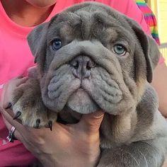Lilac English bulldog puppy.                                                                                                                                                      More #buldog